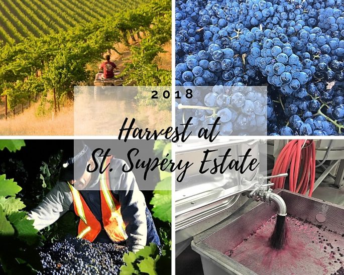 Harvest at St. Supery Estate