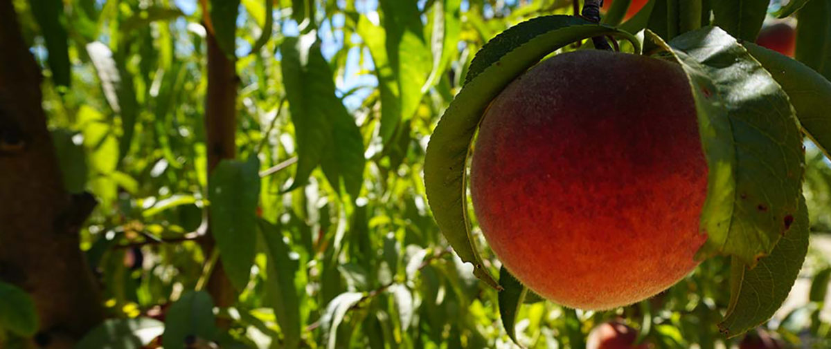 Dollarhide Ranch Peach
