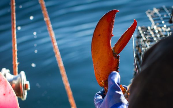 Little Cranberry Island Lobster Claw